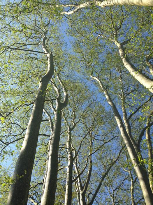 bosques de robles centenarios